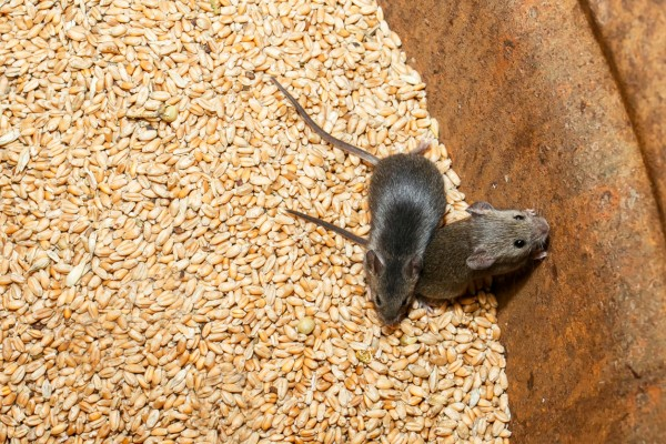 Pestmaster rodent control